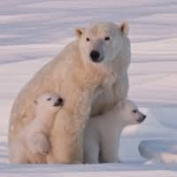 Fun Fact Friday!  Whilst pregnant, female polar bears need to eat double their weight as they dig a maternity den and hibernate until she gives birth. In fact, sometimes mother polar bears sleep through giving birth (lucky them!)  #Polarbears #AuroraExpeditions