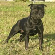 dog , dogs , staffordshire bull terrier , staffy , staffie , puppy , puppies