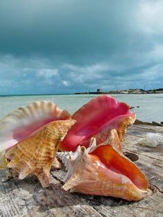 Conch shells on Providenciales Turks and Caicos Islands
