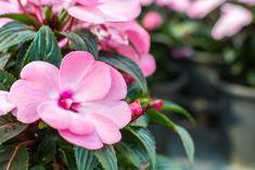 Dry Shade Plants, Shade Tolerant Plants, Shade Garden Plants, Cool Plants, Lavender Flowers, Spring Flowers, Kalmia Latifolia, Autumn Fern, Plantain Lily