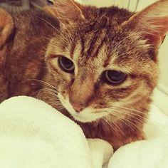 彼女は19歳。最近痴呆っぽい症状が。 (猫にも痴呆ってあるのかしら?) 食べたことを忘れるようで、何度も何度も食べたがる😫 ので、1回の量を減らして何度かに分けてモグモグしてもらってます😋✨ 老いと付き合う👵 これもまた長く一緒に暮らす醍醐味でもあるのです😊  #まだまだ長生きしてね  #猫#ねこ#cat#ねこ写真#ねこのいる生活#猫好きな人と繋がりたい#猫好きさんと繋がりたい#猫好き#ねこ部#にゃんだふるらいふ#にゃんすたぐらむ#猫好き#愛猫#猫と暮らす幸せ#猫と暮らす#保護猫#多頭飼い#ただ好きなあなたがすごくしあわせが嬉しいよ#姫