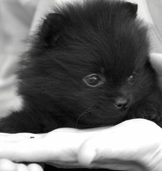 One more of India as a bebeh #pomeranian #puppy