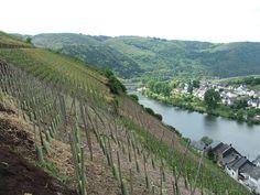 Duitse wijnstokken aan de Moezel.