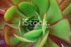 Varigated Sempervivum Royalty Free Stock Photo Floral Backgrounds, Image Now, Succulents, Wedding Invitations, Royalty Free Stock Photos, Canvas Prints, Photography, Photograph, Photo Canvas Prints