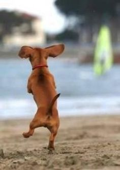 Doxie Happy Dance... <3
