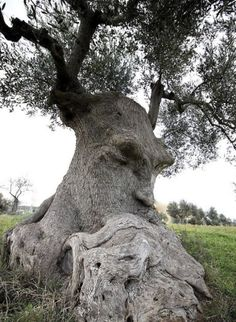 """""""Thinking Tree"""" an ancient olive tree in Puglia Italy.The """"Thinking Tree"""" an ancient olive tree in Puglia Italy. Weird Trees, Spooky Trees, Tree People, Tree Faces, Unique Trees, Old Trees, Nature Tree, Flowers Nature, Olive Tree"""