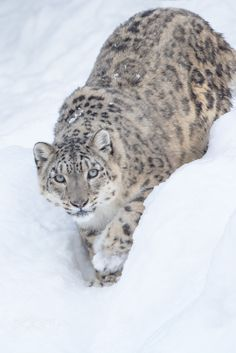 Snow Leopard in the Snow - null