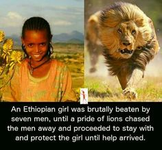 An Ethiopian girl was brutally beaten by seven men, until a pride of lions chased the men away and proceeded to stay with and protect the girl until help arrived.