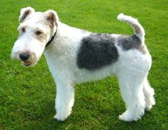 12 facts about the Wire Fox Terrier, winner of Best in Show at the Westminster Kennel Club Dog Show