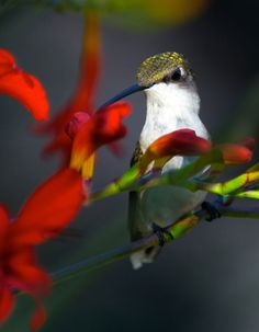 Ruby Throated Hummingbird ~ No ruby gorget and white tips on the tail feathers--must be a female--or a juvenile. Females and juveniles look alike.