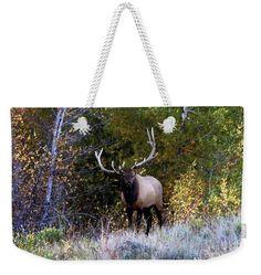 Majestic Bull Elk Survivor In Colorado