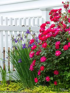 Roses, particularly shrub and landscape varieties, blend well with annuals or perennials from spring to fall. In this garden, a bright pink shrub rose is a good partner to iris.
