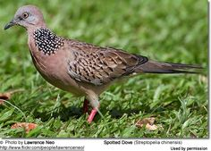 Spotted Dove (Streptopelia chinensis) by Lawrence Neo (c)
