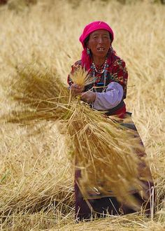 Gonkha,Tibet, harvest Time