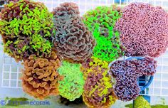 euphyllia collection - Google Search