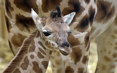 A little baby giraffe, born last Thursday, stands in front of its mother at the…