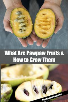 It's actually one of the easiest fruit trees you can grow, so keep reading to find out how to grow pawpaw fruits in YOUR garden! Fruit Plants, Fruit Garden, Herbs Garden, Paw Paw Tree, Growing Fruit Trees, Organic Mulch, Unique Trees, Tropical Fruits, Plantar