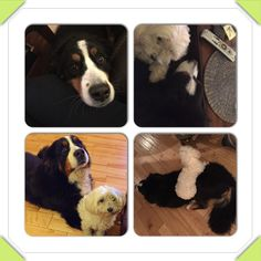 My loves #bernese #mountain #dog #multipoo