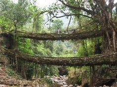 Ficus elastica root bridge another view.