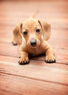Dachsy Puppies - They are the cutest puppies ever....Ben needs to see this