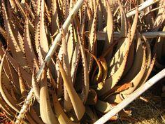Aloe argenticauda Types Of Aloe Plants, Aloe Plant Care, Indoor Plants, Helpful Hints, Pictures, Succulents, Inside Plants, Photos, Useful Tips