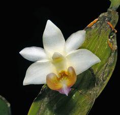 Dendrobium orbilobulatum