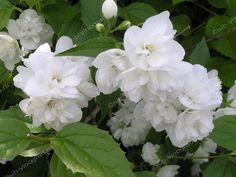 Чубушник Полет мотыльков: Высота кустарника 1,5м Цветы белые. махровые.Запах…