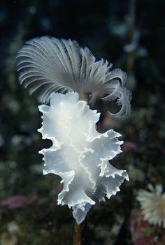 ˚Dorid Nudibranch (Tritoniella belli)