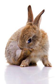 cute brown bunny grooming