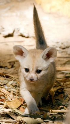 Baby Fennec Fox - I want one of these for a pet.. SO badly! D: