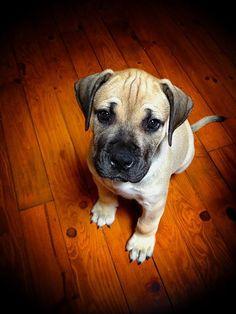 English Mastiff Puppy | via Tumblr puppy training  puppies
