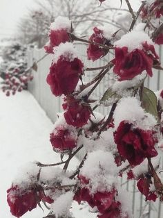 Winter red roses in the snow.