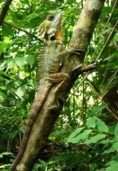 Boyd's forest dragon | Atherton Tablelands | Queensland | Australia #rainforest #FNQ #NationalPark