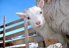 How to keep your goats healthy this winter... I will need to know this one day :)