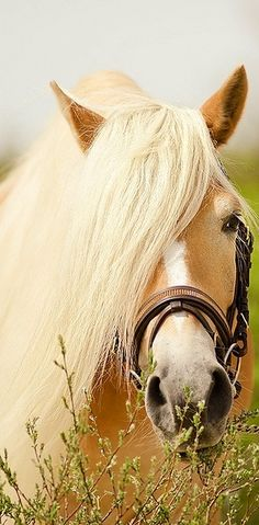 Haflinger horse. These horses are chestnut with a pangare modifier giving them the flaxen mane and tail. They are not palomino. ♠