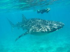 Swim with Whale Sharks in Cancun: Small-Group Snorkeling Tour - Cancun   Viator