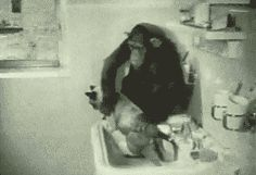 Primates washing a Felion gifs gif funny cute cats funny gifs animal gifs cat images cat gifs chimp chimpanzee