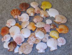 36 1-2 Whole Scallop Seashells for Crafts Display Craft Colored Shells Beach