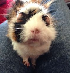 Dumbo the super cute guinea pig Animals And Pets, Cute Animals, Guniea Pig, Baby Guinea Pigs, Pocket Pet, Cute Creatures, Rodents, Chinchilla, Fur Babies