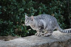 Silver Gray Tabby Cat Yellow Eyes Photos | Cute Cat Pictures ...