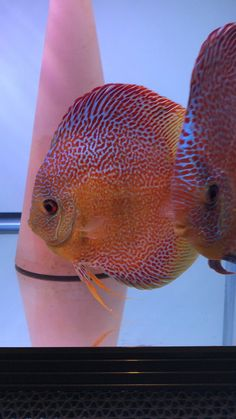 Discus Fish, Angelfish, Freshwater Aquarium, Aquariums, Animals And Pets, Fresh Water, Peace, Inspire, Artists