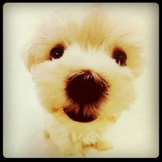Maltese.....looks like my starlie....her father was maltese and her mom a pekingnese