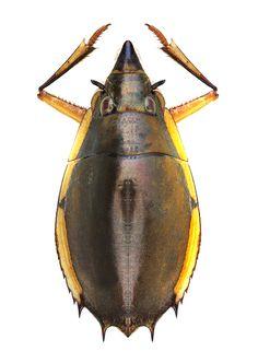 Porrorhynchus marginatus