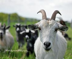 One day ima have a goat! When I have my farm!