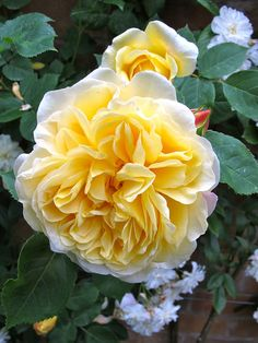 """Teasing Georgia Rose"". David Austin English Rose. Such perfection... <3"