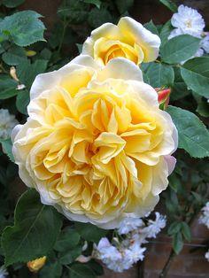 English rose 'Teasing Georgia'