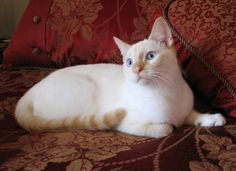 Flame Point Siamese Mix | in the united kingdom all pointed siamese style cats are