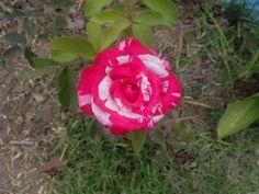 Rose beautifull