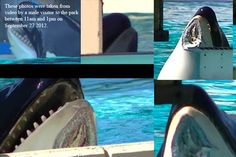 Why I will not ever set foot in Sea World, or anywhere that hold captive wild animals. What Happened to Nakai? SeaWorld Orca Missing Huge Chunk of Chin