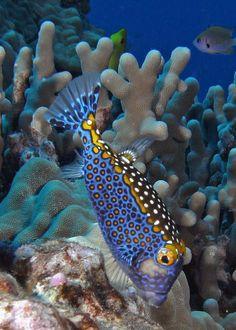 Unique creatures that inhabit the seabed - brigitte denys - - Créatures uniques qui habitent le fond marin seabed, fish species in color venomous Underwater Creatures, Underwater Life, Ocean Creatures, Beautiful Sea Creatures, Animals Beautiful, Beautiful Fish, Stunningly Beautiful, Saltwater Aquarium, Aquarium Fish